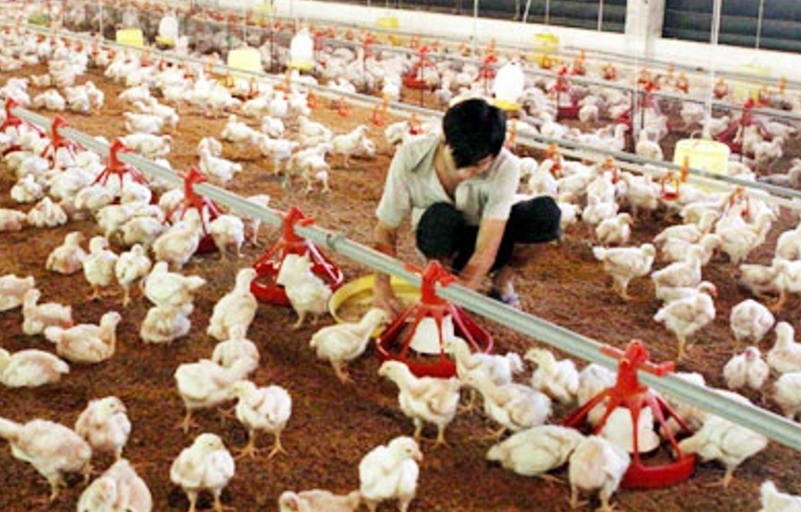 Poultry Insurance in Bangladesh